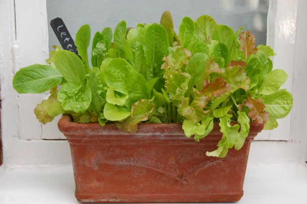 lettuce growing in a window box