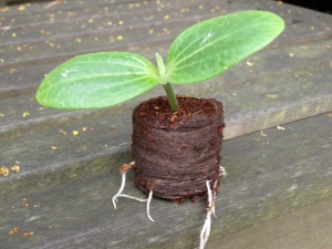courgette seedling in a coir pellet
