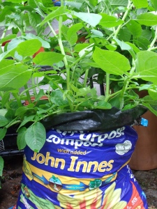 potatoes growing in a compost bag