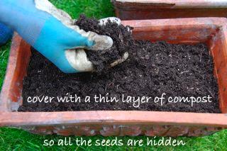windowsill veg garden - cover seed