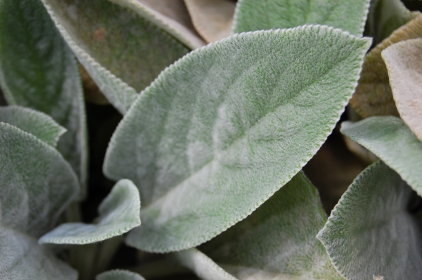 Lamb's ears (Stachys byzantina) detail of leaf
