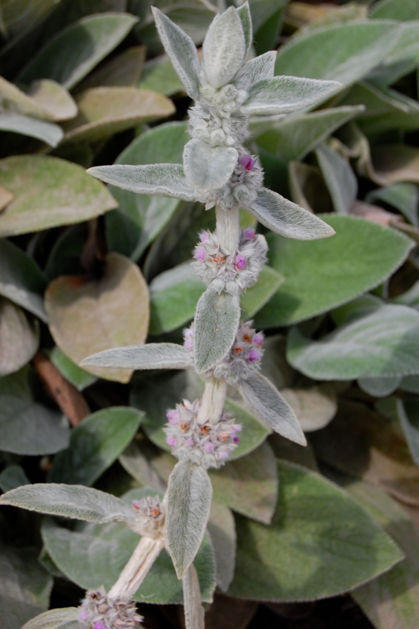 Lamb's ears (Stachys byzantina) flower spike