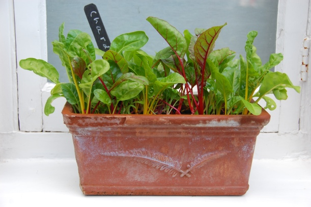 growing chard in a windowbox