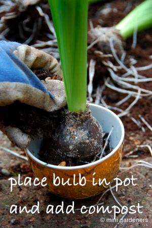 repotting a hyacinth bulb