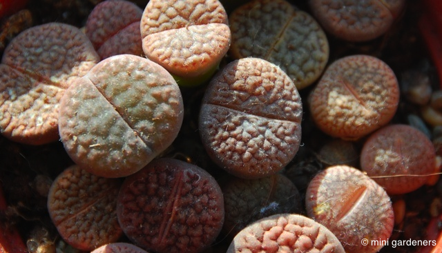 "Lithops, commonly known as ""living stones"""
