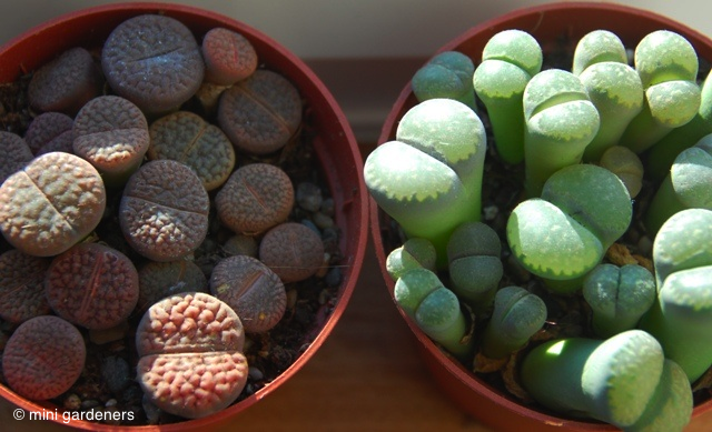 "Lithops, known as ""living stones"""