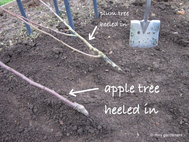 apple tree heeled in
