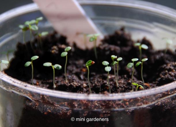 alpine strawberry seedlings