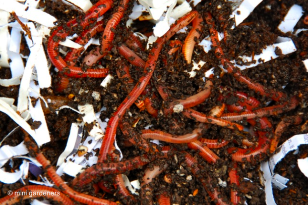 worms at home in a wormery