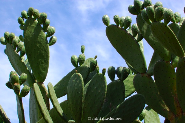 prickly pear growing wild in spain