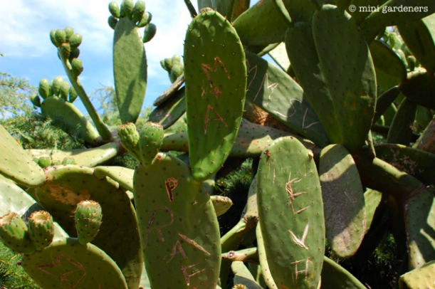 graffiti on prickly pear