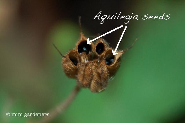 Aquilegia seed head