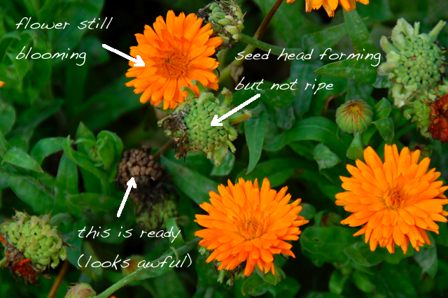 Calendula officinalis when to collect seed