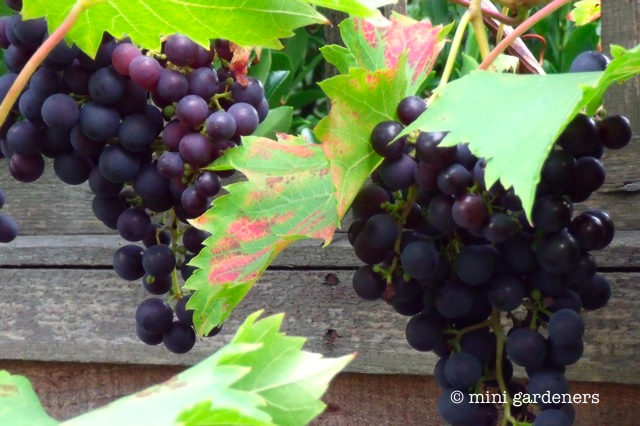 grow your own grapes