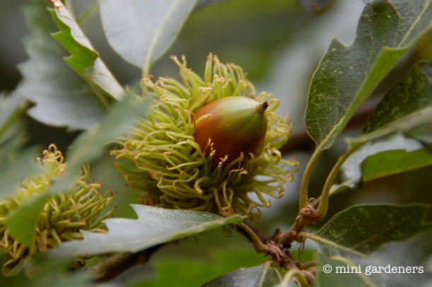 Acorns possibly from the Turkey Oak (Quercus cerris)