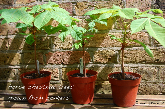 horse chestnut trees grown from conkers