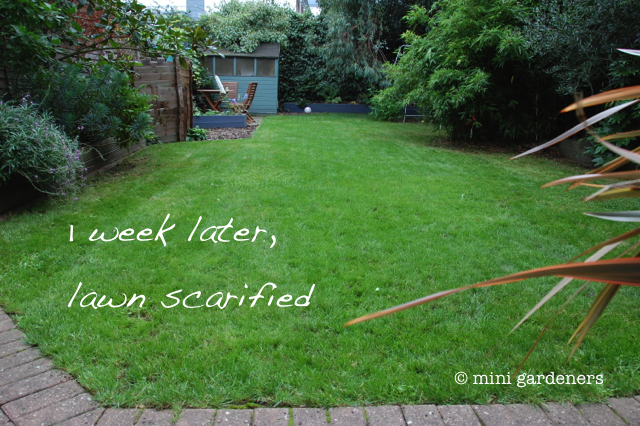 lawn after scarifying
