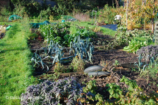 allotment before autumn tidy up