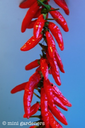 chilli peppers ready for drying