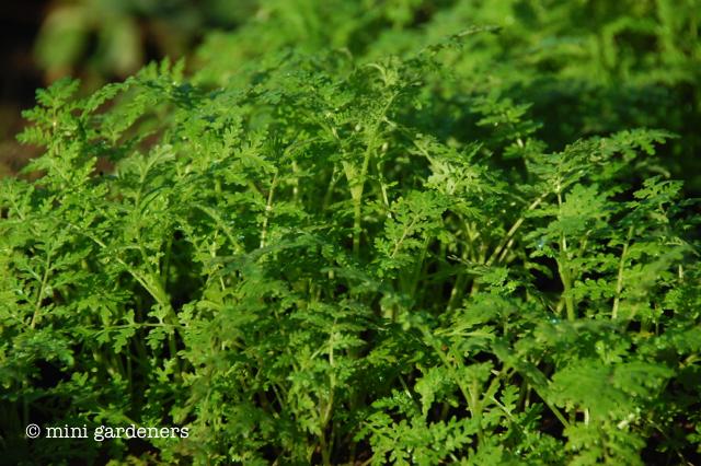 Phacelia tanacetifolia (green manure)