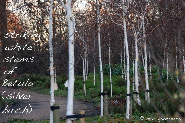 Betula (silver birch) in the winter garden at Battersea Park