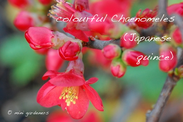 Chaenomeles (japanese quince) flowers in winter