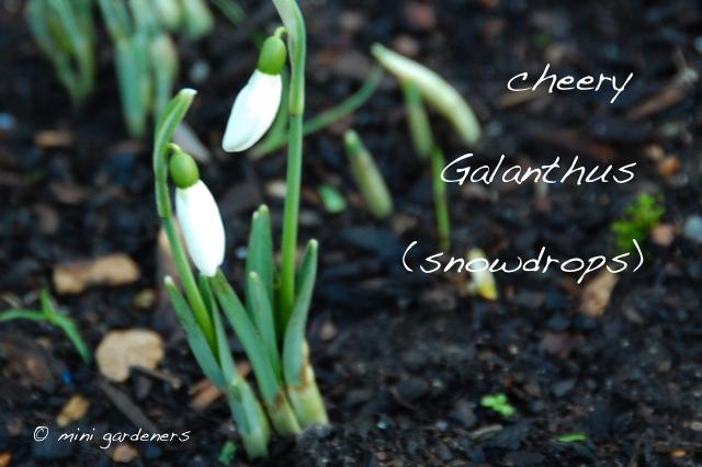 Galanthus (snowdrops)