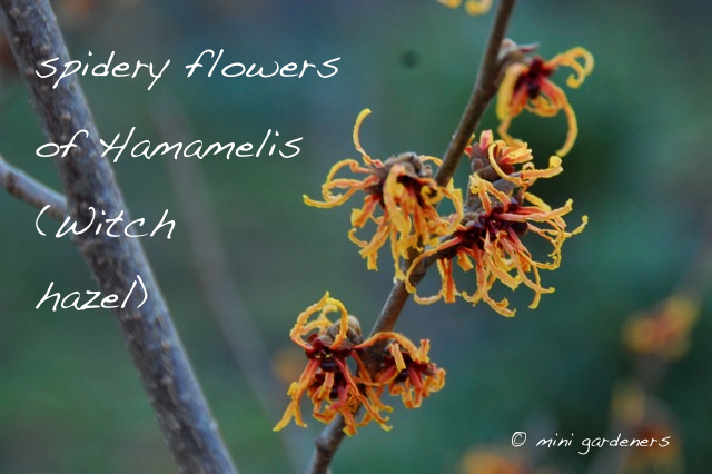 Hamamelis (witch hazel) flowers in winter