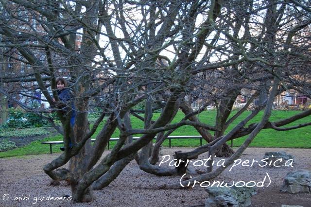Parrotia persica (ironwood) in Battersea Park)