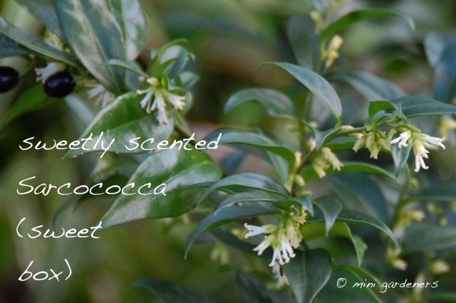 Sarcococca (sweet box) flowers