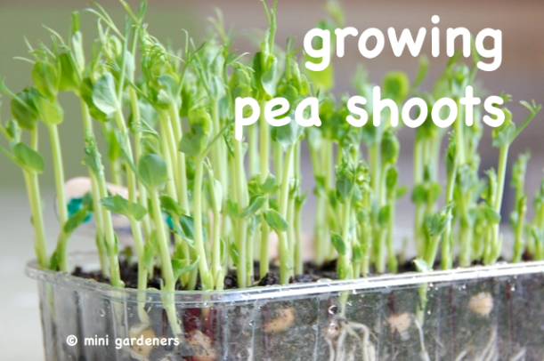 growing pea shoots on a windowsill