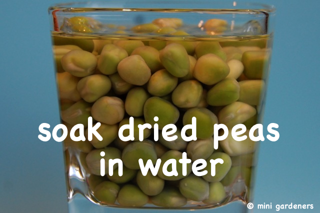 soak dried peas in water before planting