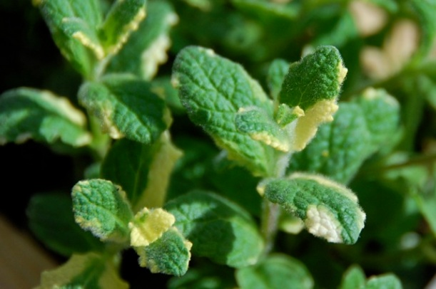 apple mint (mentha suaveolens)