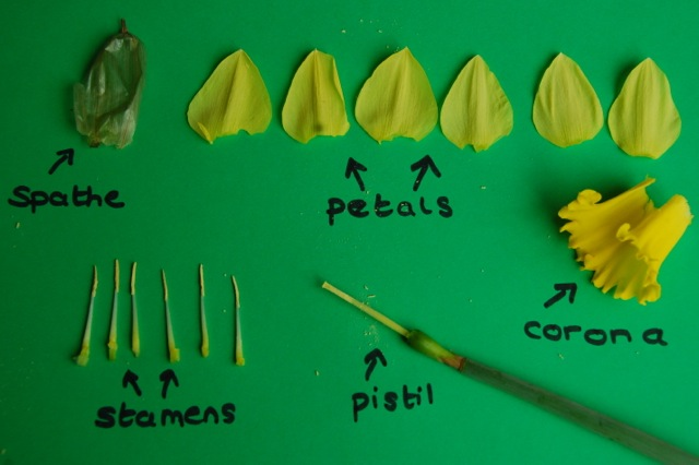 Have you ever dissected a daffodil mini gardeners issecting a daffodil flower ccuart Choice Image