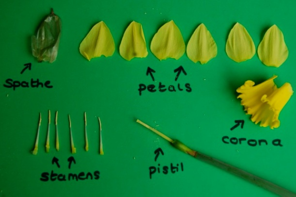 issecting a daffodil flower