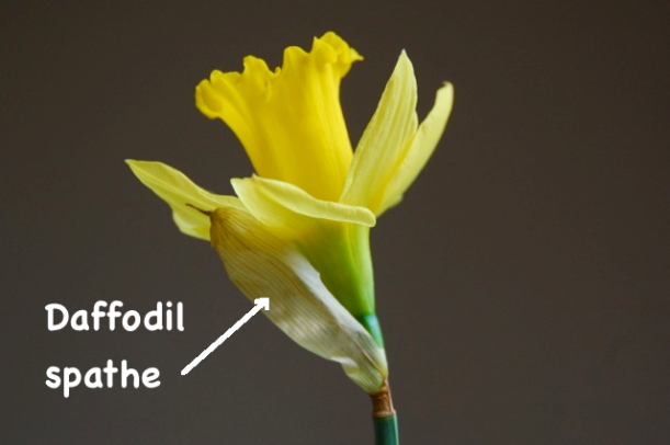daffodil dissection - the spathe