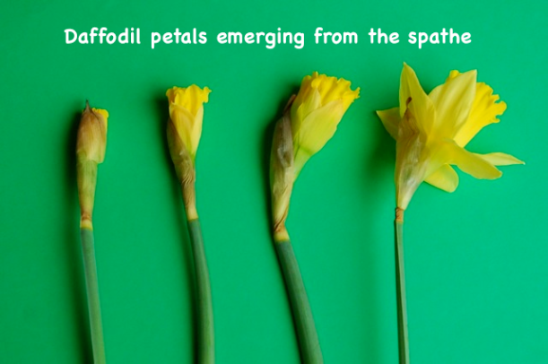 daffodil petals emerging from the spathe