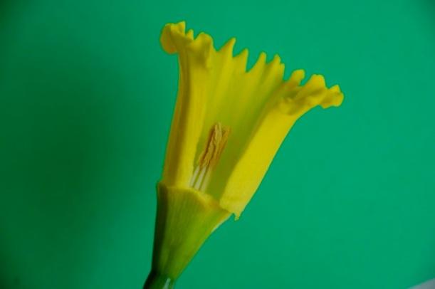 daffodil corona