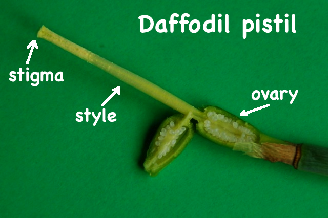 daffodil pistil, showing stigma, style & ovary