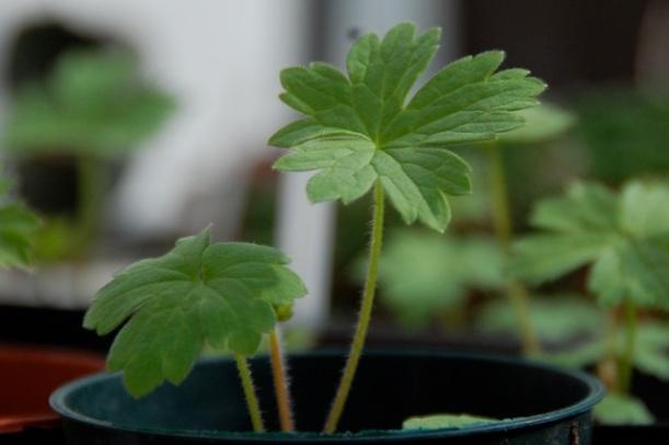 delphinium seedling