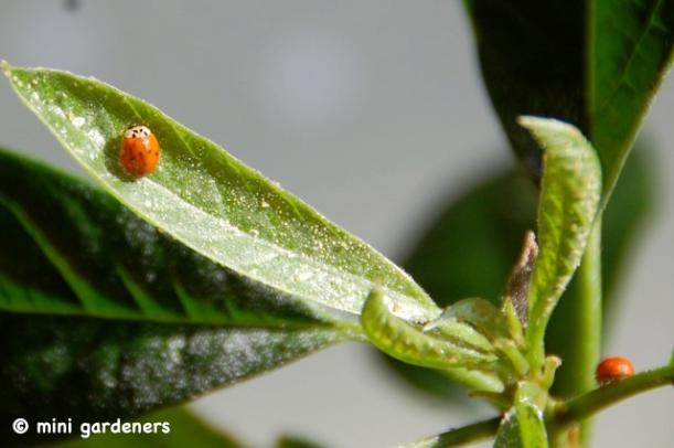ladybird as biological control