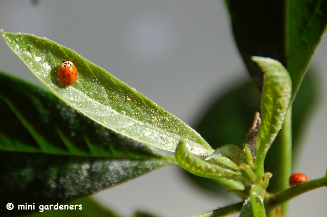 ladybird as biological control