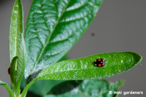 harlequin ladybird on an avocado plant
