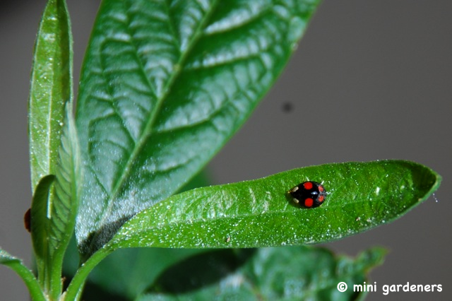 harlequin ladybird on an avocado plant