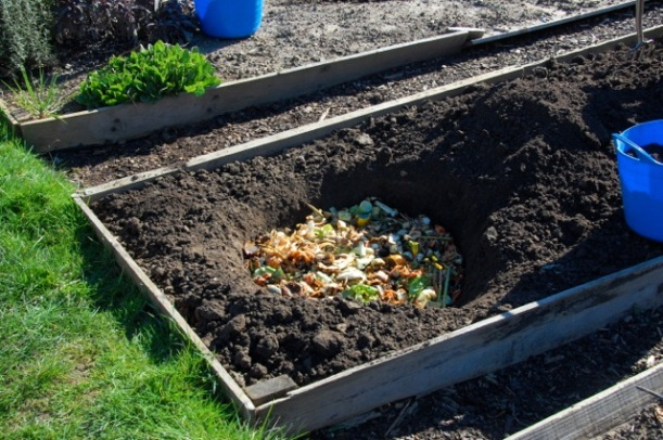 trench composting on an allotment