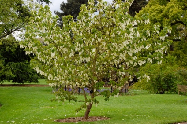 Davidia involucrata (the Handkerchief Tree)