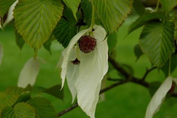 The Handkerchief Tree (Davidia involucrata)