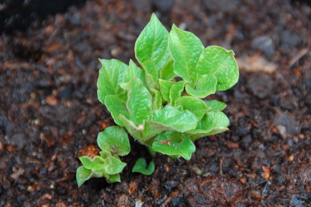 potato plant in a pot for grafting