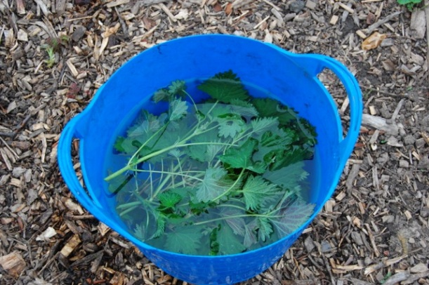 making nettle fertiliser for plants