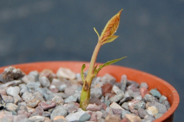 sweet chestnut tree seedling